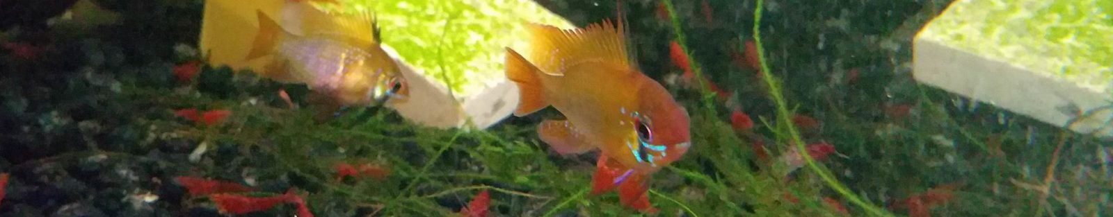 RGB Shrimp